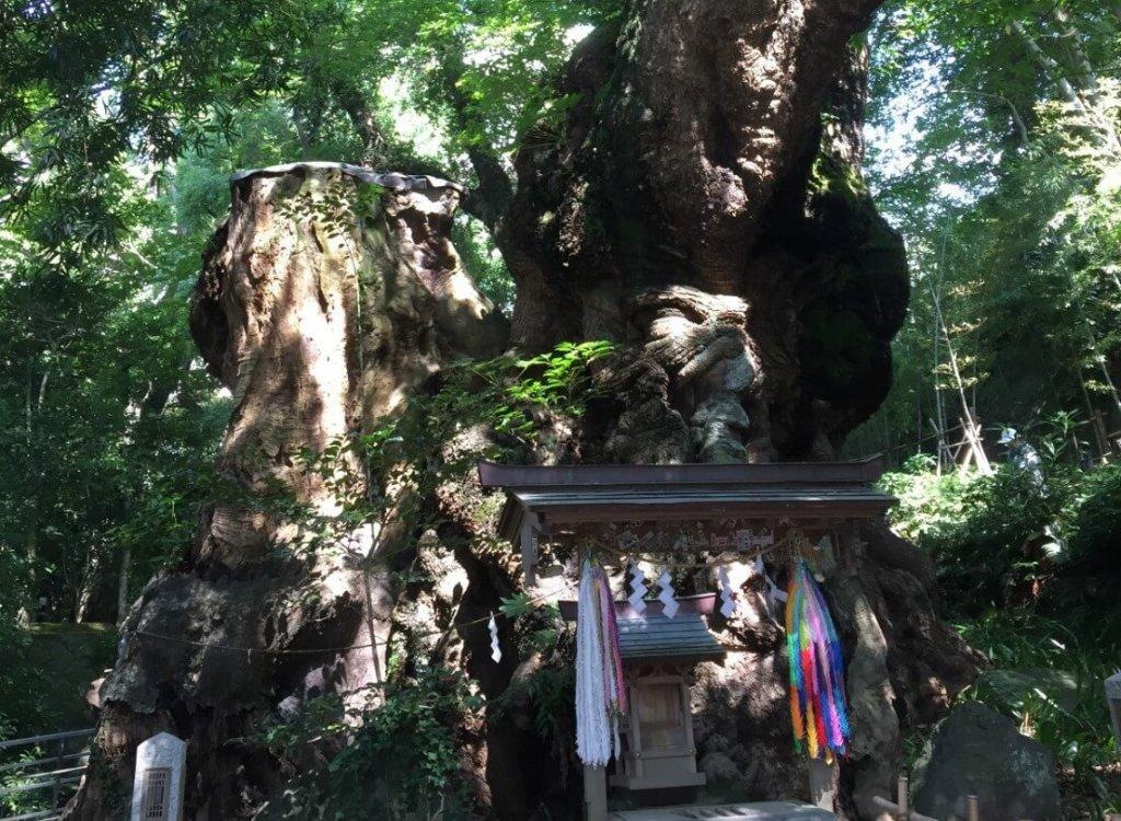 来宮神社 ご神木